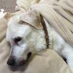 老犬介護ブログ(春に降った雪でふて寝する、ロッキーくん編。)