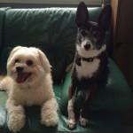 老犬介護ブログ 千葉 九十九里パークのゆかいな仲間たち(コロンちゃんとこまちちゃんとムックくん編)