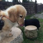 老犬ホーム九十九里パークの…トイプードルの女の子のアクピーちゃんは、広大なドックランでのタンポポ探しが、最近のマイムーブみたいです。編