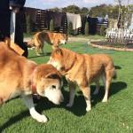 柴犬の男の子のサムくん(14さい)が、老犬ホーム九十九里パークの、あたらしい仲間にくわわりました。編