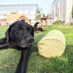 狂犬病注射の日がやってきました、老犬ホーム九十九里パークの公園は…青空どうぶつ病院にへんしんです。編