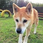 柴犬の女の子のチョビちゃん(15さい)が、老犬ホーム九十九里パークのゆかいな仲間たちに加わりました。編