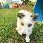 ジャック・ラッセル・テリアのミッキーくん(15さい)が、老犬ホーム九十九里パークのあたらしい仲間にくわわりました。編
