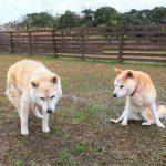 柴犬の女の子のななちゃん(17さい)が、老犬ホーム九十九里パークの、ゆかいな仲間たちにくわわりました。編