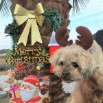 老犬ホーム九十九里パークのゆかいな仲間たちから、ハッピーメリークリスマス(小型犬)後編