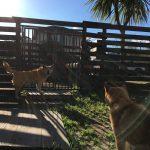 柴犬の女の子(15さい)のピッピちゃんが、老犬ホーム九十九里パークのあたらしい仲間にくわわりました。編