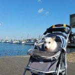 老犬介護施設・九十九里パークのたのしいお散歩コース、片貝漁港にいってきま~す!(小型犬)編