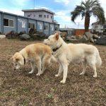 犬の老犬介護施設では、広~いドックランが社交場です。(中型犬・大型犬)編