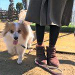 老犬介護施設にパピヨンの女の子のぱぴいちゃん(10さい)が入園しました。編
