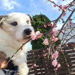 神奈川よりもあたたかい、自然がいっぱいの老犬ホーム九十九里パークは、しだれ梅がポンポンと開花しています。(小型犬)編