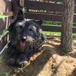 老犬ホーム九十九里パークに…埼玉から、スコティッシュテリアの男の子のハカセくんと、フラットコーデットレトリバーの男の子のオレオくんが入園しました。編