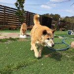 老犬介護ブログ・九十九里パークのワンちゃん達の一日。(中型犬・大型犬)その1編