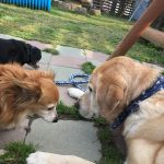 老犬ホーム・千葉から九十九里パークにラブラドール・レトリーバーの男の子のおうじろうくんが入園しました。編