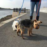 高齢犬介護施設・九十九里パークの…作田川のお散歩コースにいってきま~す。(小型犬)その2編