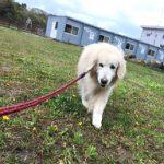 老犬ホーム・東京から九十九里パークに、ゴールデン・レトリーバーの女の子のイブちゃん(13さい)が入園しました。編