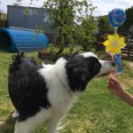 老犬ホーム・神奈川から、人懐っこいボーダーコリーの男の子のラグくん(14さい)が入園しました。