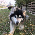 ドックランに広がる青々とした自然芝は…老犬のワンちゃん達の足にも、とってもやさしい環境です。(中型犬・大型犬)その1編