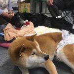 千葉県から老犬ホーム九十九里パークに、柴犬の女の子の「舞鈴」まりんちゃん(17さい)が入園しました。編