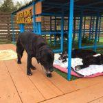 神奈川から老犬ホーム九十九里パークに、ラブラドールの女の子のラブちゃん(16さい)が入園しました。編