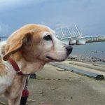 ビーグルのビーンくんとロッキーくん、片貝漁港のお散歩コースにいってらっしゃ~い!(小型犬)その1編