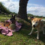 柴犬とシェパードのMIXのミルキーちゃん、並んでみると…どっちも面影アリますね。(中型犬・大型犬)その4編