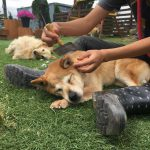 老犬ホーム九十九里パークの公園で、のんびりと過ごすチームお留守番のワンちゃん達(中型犬・大型犬)その3編