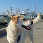 なかよしファミリーのサクラちゃんもマリンちゃんも~片貝漁港のお散歩コースへいってらっしゃ~い!(中型犬・大型犬)その2編