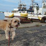 シーズーとマルチーズのMIXのしるくんと、ラサ・アプソのレオンくんも~片貝漁港のお散歩コースにいってらっしゃ~い!(小型犬)その3編