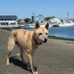 おっとり女子のりんちゃんランちゃんピッチちゃんも…片貝漁港のお散歩コースへいってらっしゃ~い!(中型犬・大型犬)その1編