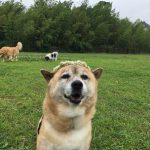 ワンちゃん達にもやさしいフカフカのドックラン…快適な状態をたもつのに、スタッフのお手入れはかかせません。(中型犬・大型犬)その2編