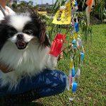 老犬ホーム九十九里パークでは…七月八日の七夕まつりもやっております。(小型犬)その3編