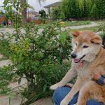 老犬ホーム九十九里パークに…東京から柴犬の女の子のラッキーちゃん(15さい)が入園しました。編