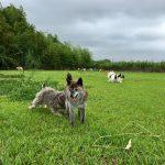 老犬ホーム九十九里パークに…東京から、甲斐犬と柴犬のMIXのトミーくん(15さい)が入園しました。編