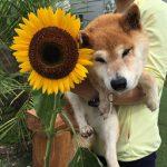 九十九里公園のヒマワリも満開、ヒマワリのお花とワンちゃん達の一日(中型犬・大型犬)その1編