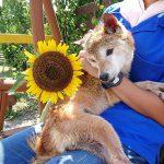 2017年夏もあとわずか…九十九里公園のヒマワリのお花、来年はもっとたくさん咲かせたいなあ(中型犬・大型犬)その3編