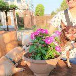 老犬ホーム九十九里パークに…神奈川から、ミニチュアピンシャーのルルちゃんとチワワのキャンディーちゃんが入園しました。編