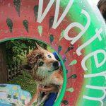 老犬ホームの九十九里公園は今日もミニミニプール開きです!(中型犬・大型犬)編