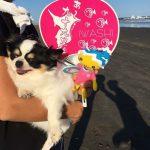 季節はスポーツの秋…ワンちゃん達もお楽しみ、海さんぽに行ってきま~す!(小型犬)その1編