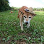 9月の涼しい風が吹き抜けるドックラン、柴犬のワンちゃん達いらっしゃ~い!(中型犬・大型犬)その1編