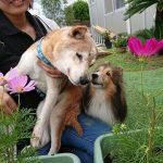 老犬ホーム九十九里パークに…千葉から甘えん坊の柴犬の男の子のジョンくん(17さい)が入園しました。編