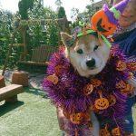 秋晴れでおだやかな昼さがり…みんなで一緒にハッピーハロウィーン(中型犬・大型犬)その2編