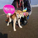 海さんぽ初心者の…柴犬のレイくんと甲斐犬と柴犬のMIXのトミーくんも、秋の海さんぽを楽しんでね~!(小型犬・中型犬)その5編