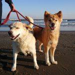 11月の海さんぽも最終日…サクラちゃんマリンちゃん、大型犬のワンちゃん達お腹いっぱい楽しんでおいで~!(中型犬・大型犬)その3編