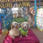 シェルティーのナツメちゃんもポメラニアンとチワワのMIXのチビくんも~キラキラ秋冬コレクションで素敵にポージングができました!(小型犬)その3編