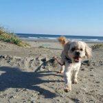北風ふくふく海さんぽ、ワンちゃん達は楽しそうだよ海さんぽ。(小型犬・中型犬)その6編