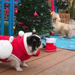 千葉の老犬ホーム九十九里パークから~すこし早めのハッピーメリークリスマ~ス!(小型犬)その1編