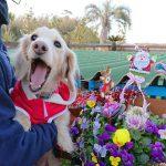 千葉の老犬ホーム九十九里パークから…可愛いサンタさんやトナカイさんからのハッピーメリークリスマ~ス!(小型犬)その3編