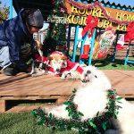 愛嬌たっぷりモフモフのコウジくんも~みんなで一緒にハッピーメリークリスマ~ス!(中型犬・大型犬)その2編