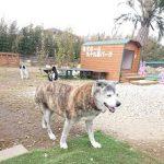 関東・老犬ホーム九十九里パークに…神奈川から笑顔のステキな男の子のクッキーくん(15さい)が入園しました。編