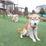 老犬ホーム九十九里パークに…千葉から柴犬の好奇心旺盛な女の子のあゆちゃん(17さい)が入園がしました。